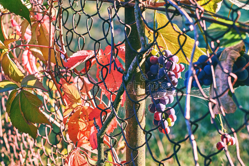 Organic grapes on an old vineyard`s wire mesh fence in autumn royalty free stock photography