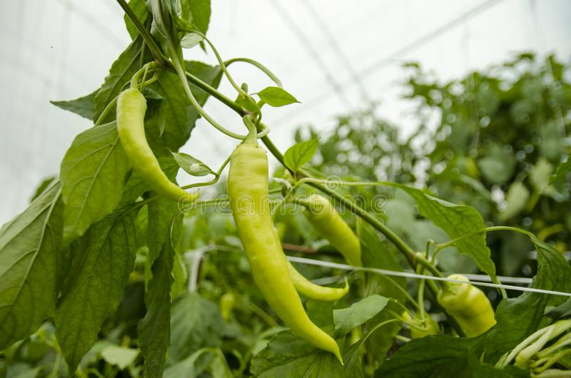 Organic Green hot peppers. Closeup in greenhouse stock photo
