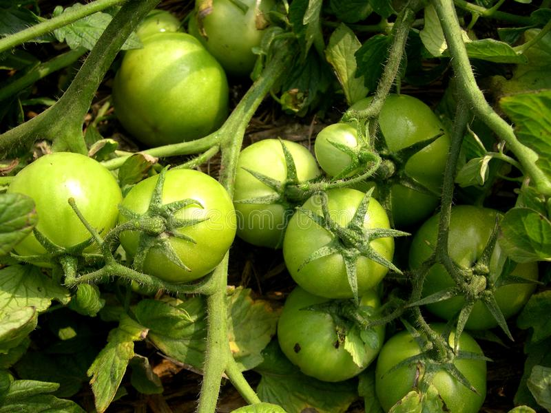 Download Organic green tomatoes stock image. Image of farmer, farm - 8572127