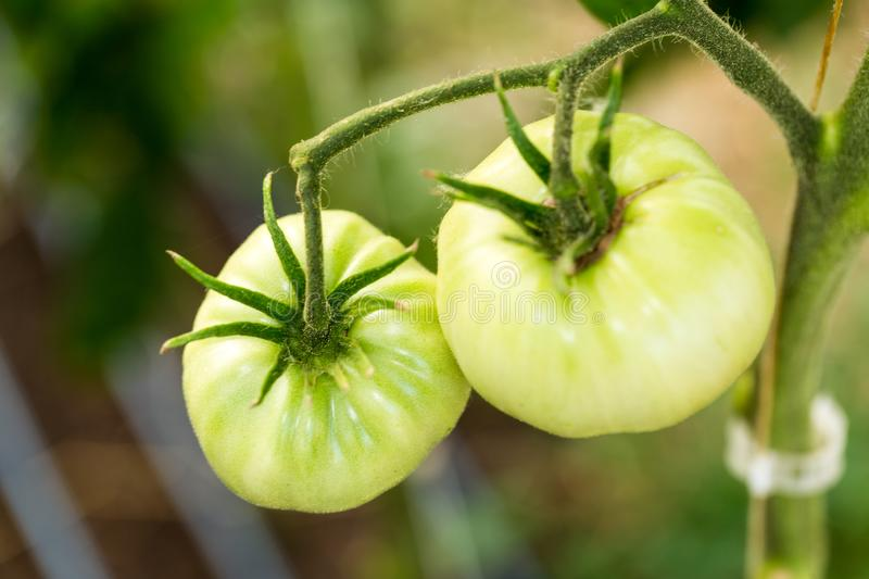 Organic green tomatoes ripening on a vine in a greenhouse royalty free stock photo