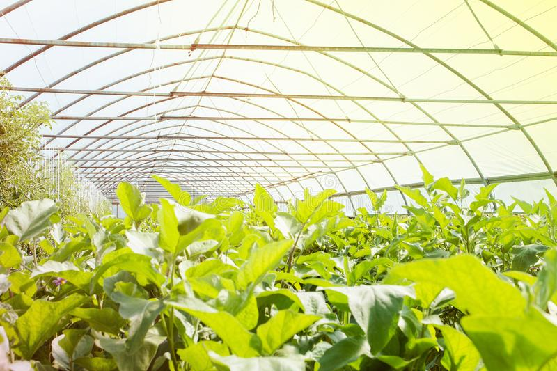 Organic greenhouse. Young plants growing in very large plant in commercial greenhouse.  royalty free stock photo