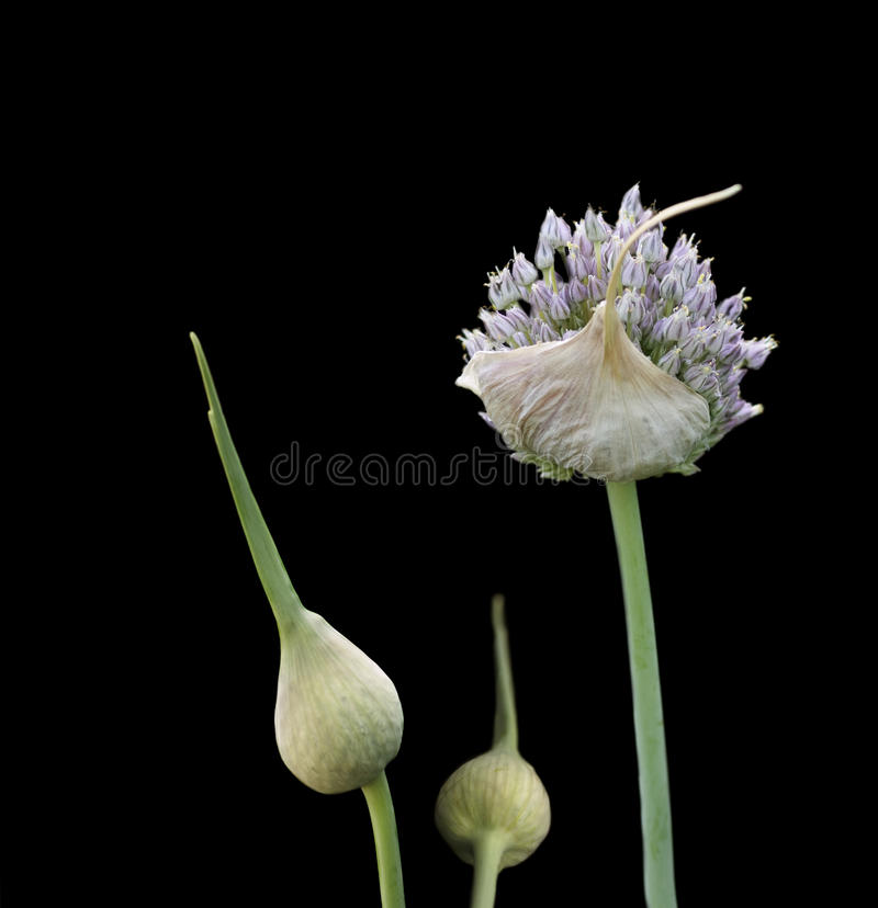 Organic herb garlic flowering head and buds royalty free stock photos
