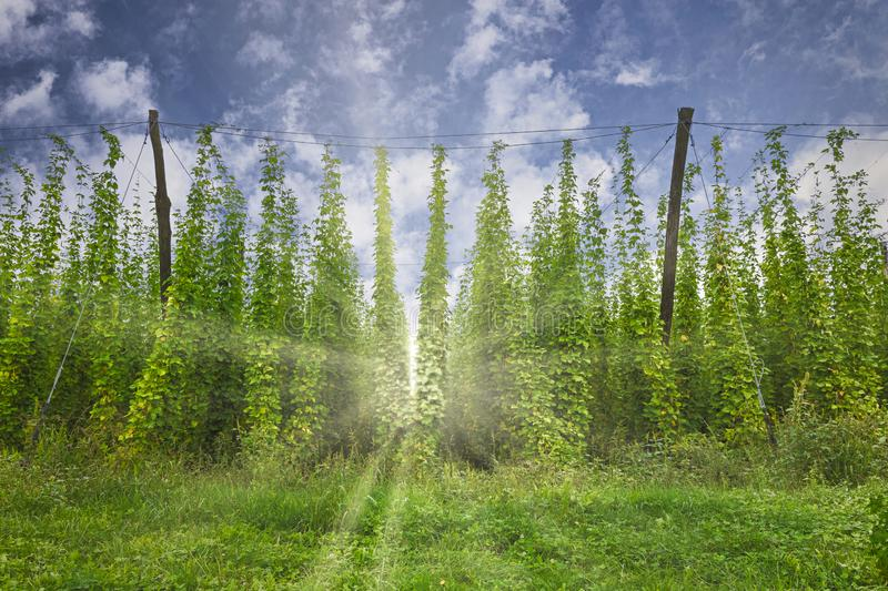 Organic hops plantation ready to harvest. Traditional eco beer brewery stock images