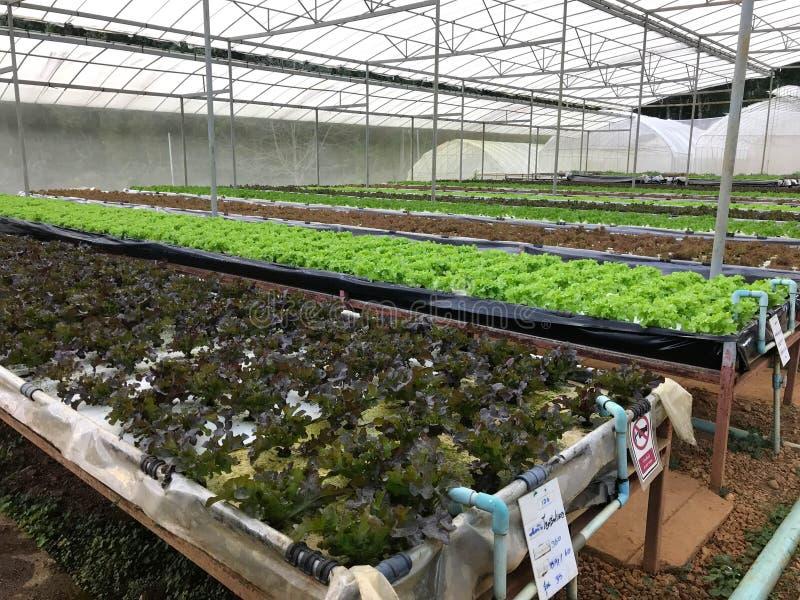 Organic hydroponic lettuce plantation in greenhouse nursery royalty free stock photography
