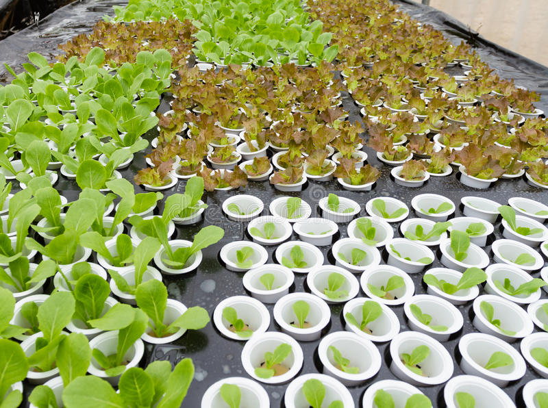 Organic hydroponic vegetable. In farm royalty free stock image