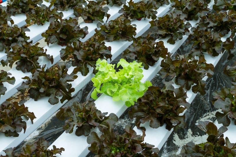 Organic hydroponic vegetable. In farm stock photo