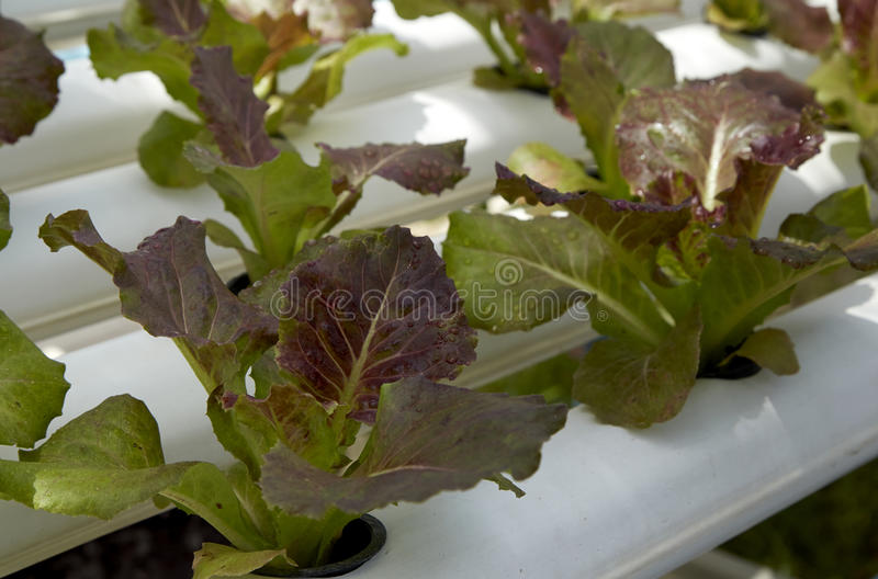 Organic hydroponic vegetable cultivation royalty free stock images