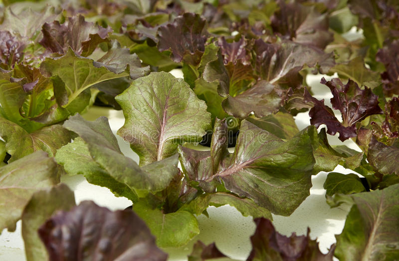 Organic hydroponic vegetable cultivation royalty free stock photo