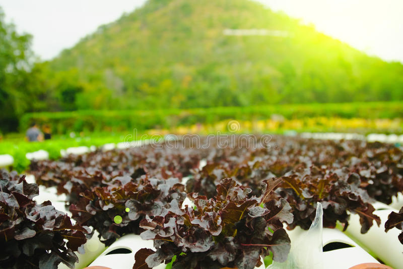 Organic hydroponic vegetable cultivation farm at countryside, Thailand.  stock photography