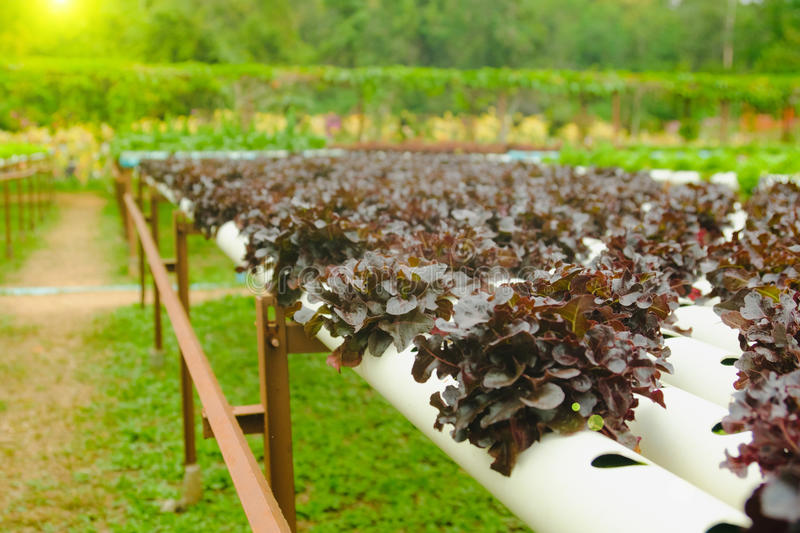 Organic hydroponic vegetable cultivation farm at countryside, Thailand.  royalty free stock image