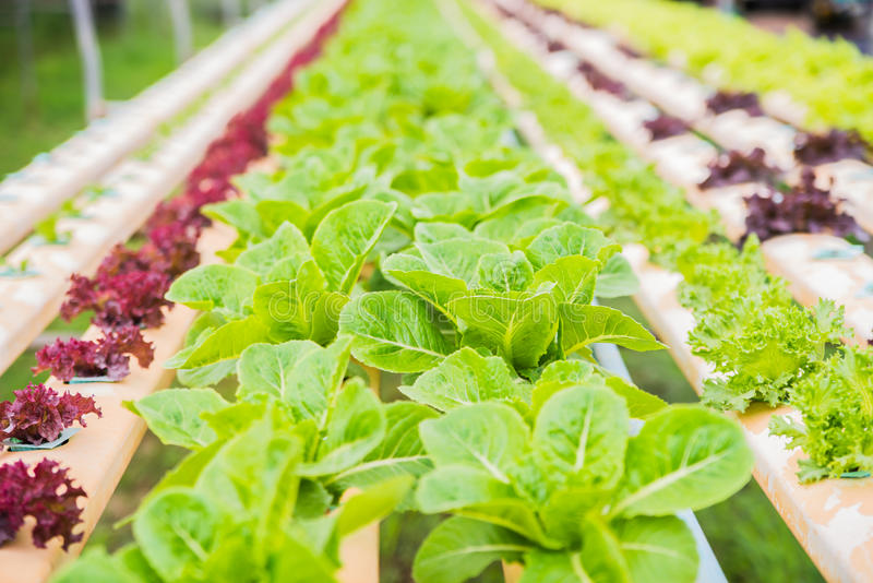 Organic hydroponic vegetable cultivation farm. Of Thailand royalty free stock photography