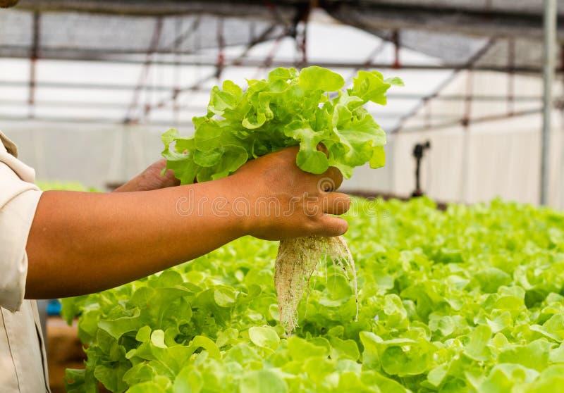 Organic hydroponic vegetable farm. Organic hydroponic vegetable in farm stock photos