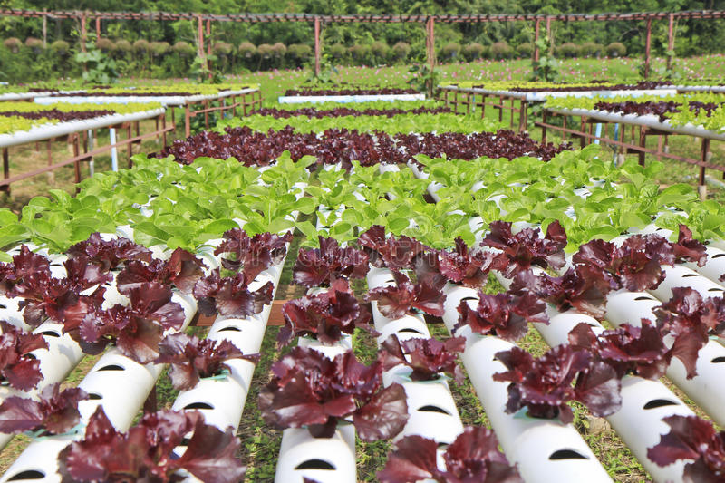 Organic Hydroponic vegetable farm.  stock images