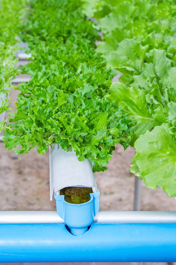 Download Organic Hydroponic Vegetable In A Farm, Agricultur Stock Image - Image: 37923005