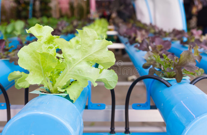 Organic hydroponic vegetable in greenhouse. Organic hydroponic vegetable garden in greenhouse at Thailand stock photos