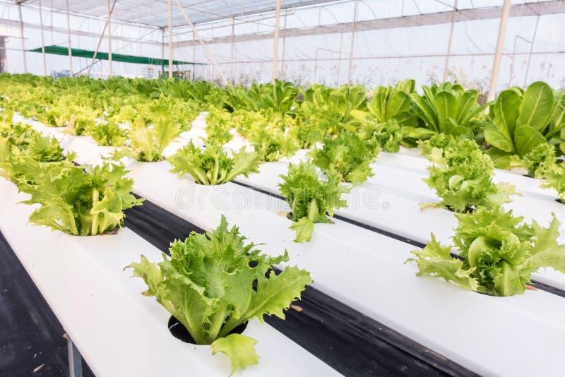Organic hydroponic vegetable. stock photo