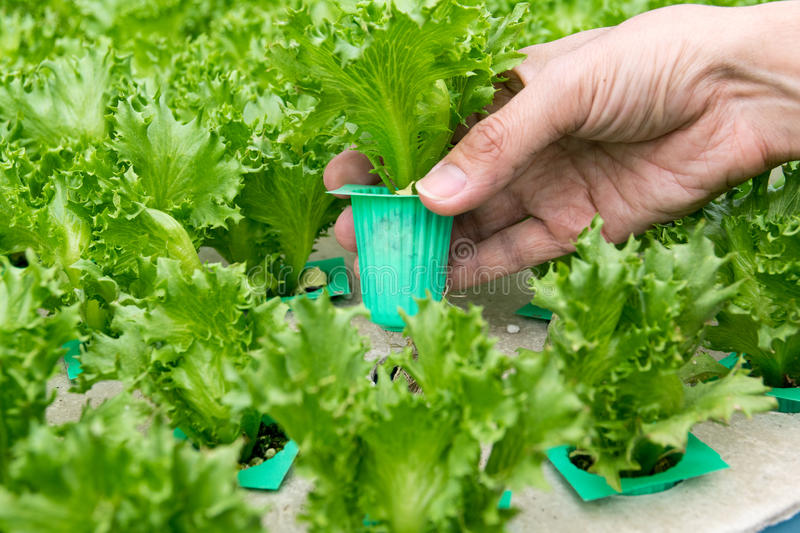 Organic hydroponic vegetable on hand in garden. stock images