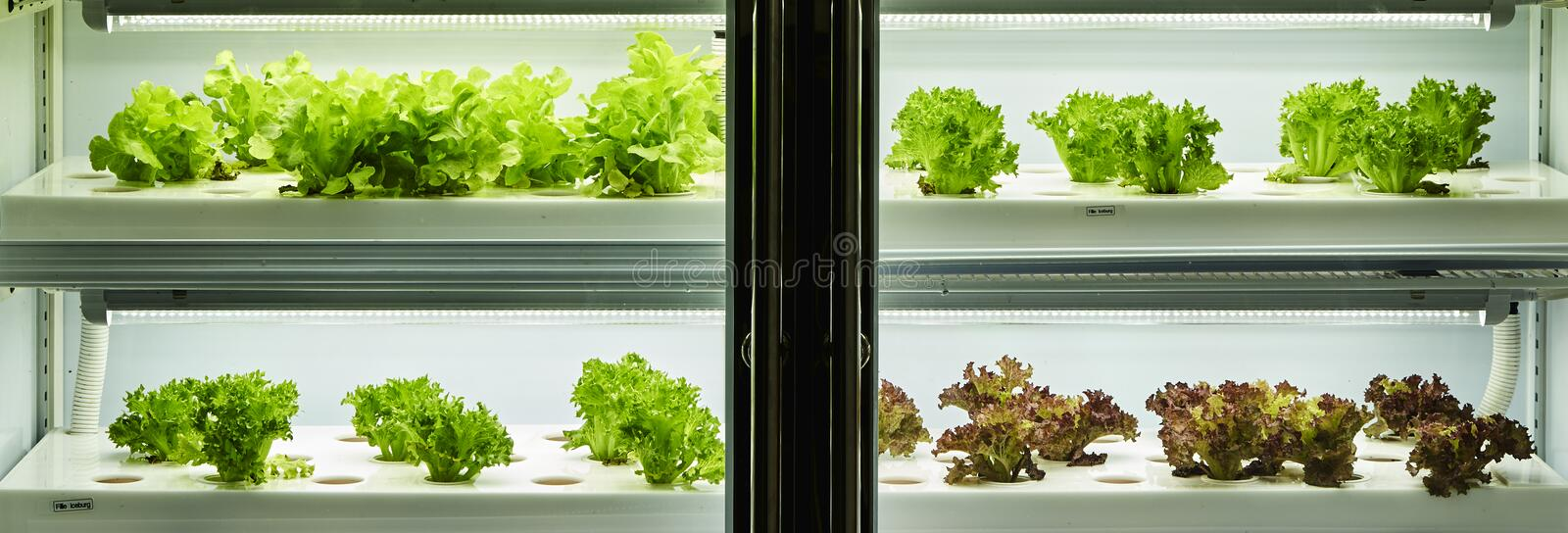 Organic hydroponic vegetable royalty free stock photo