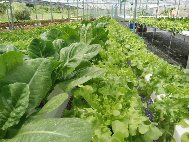 Organic hydroponic vegetables growing at green farm. Various organic hydroponic vegetables growing on shelf at green farm stock image