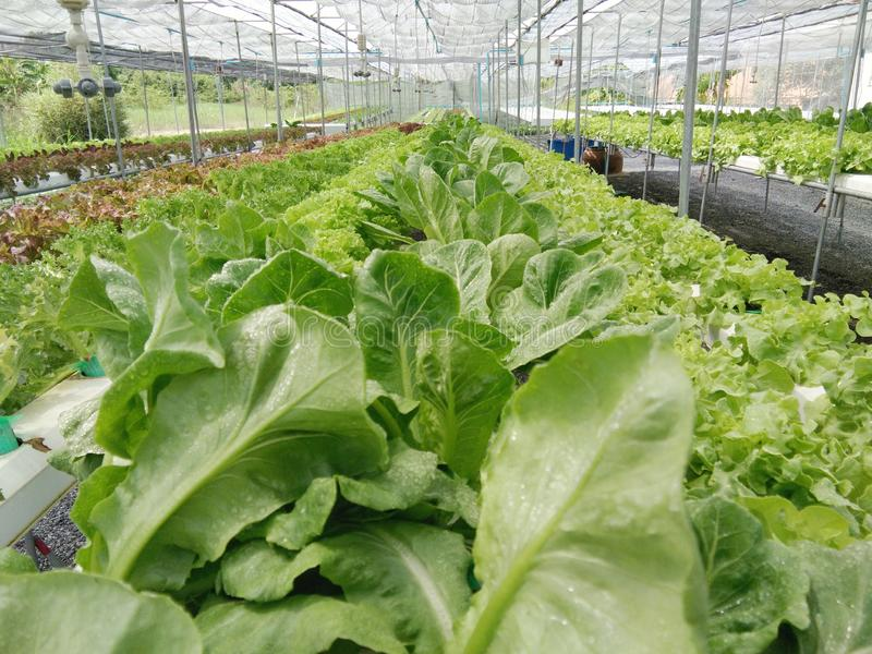 Organic hydroponic vegetables growing at green farm. Various organic hydroponic vegetables growing on shelf at green farm stock images