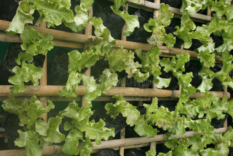 Organic hydroponic vegetables. Vertical garden royalty free stock photos