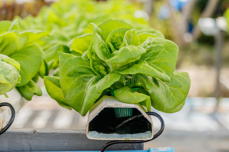 Organic hydroponic vegetables Vertical garden. Organic hydroponic vegetables Vertical garden royalty free stock photo