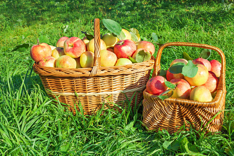 Organic juicy apples in basket. Harvesting in orchard . royalty free stock photos