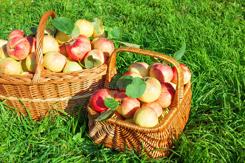 Organic juicy apples in basket. Harvesting in orchard . royalty free stock photography