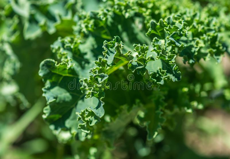 Organic Kale Growing Up. Under Bright June Sun in Ste-Anne-Des-Plaines, Quebec, Canada stock images