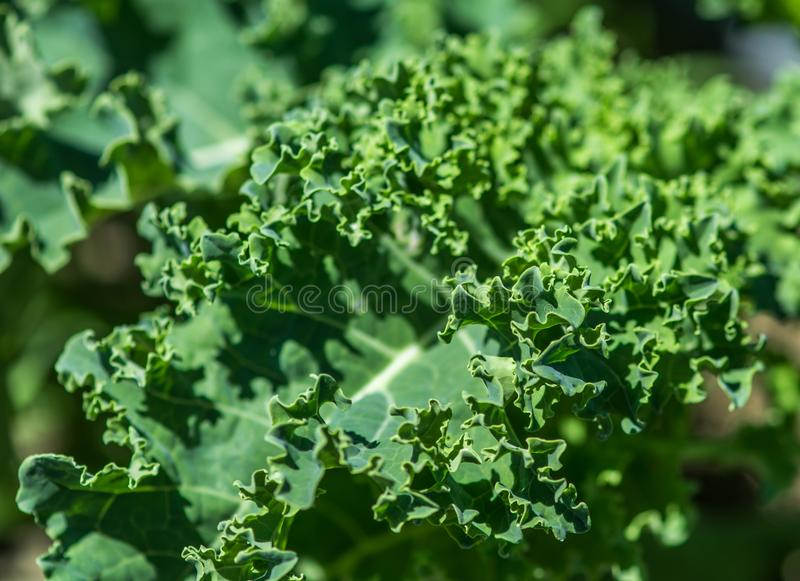Organic Kale Growing Up. Under Bright June Sun in Ste-Anne-des-Plaines, Quebec, Canada stock photo