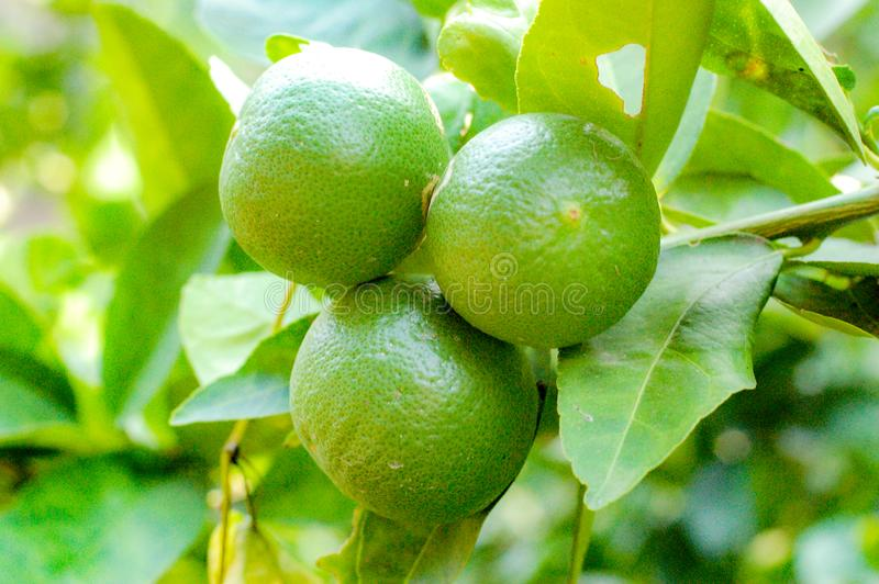 Organic lemon tree with big lime. Lemon or organic Lime Tree in Thailand, with three limes on branch stock images