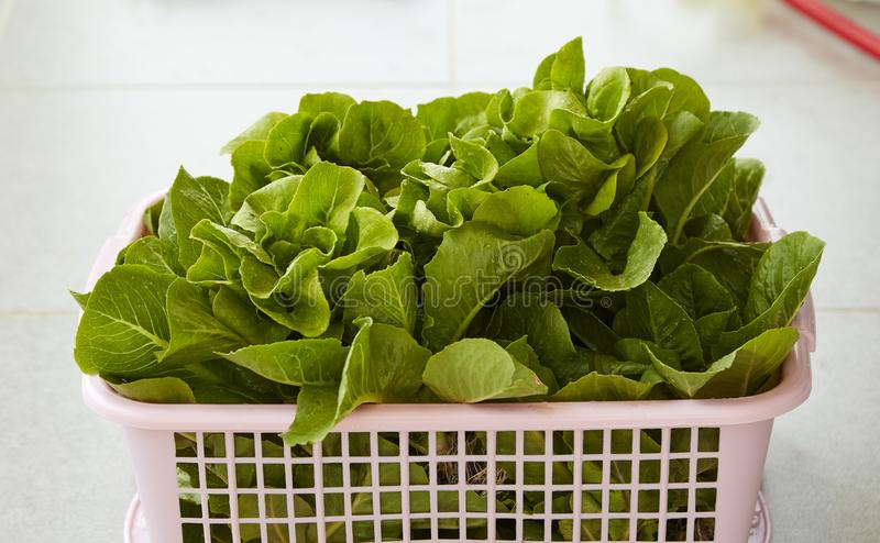 Organic Lettuce in a Basket royalty free stock image