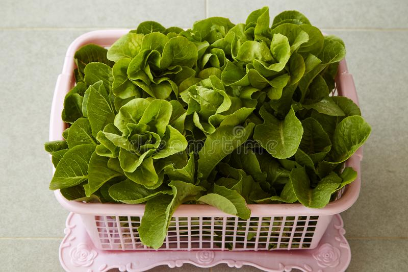Organic Lettuce in a Basket royalty free stock photos