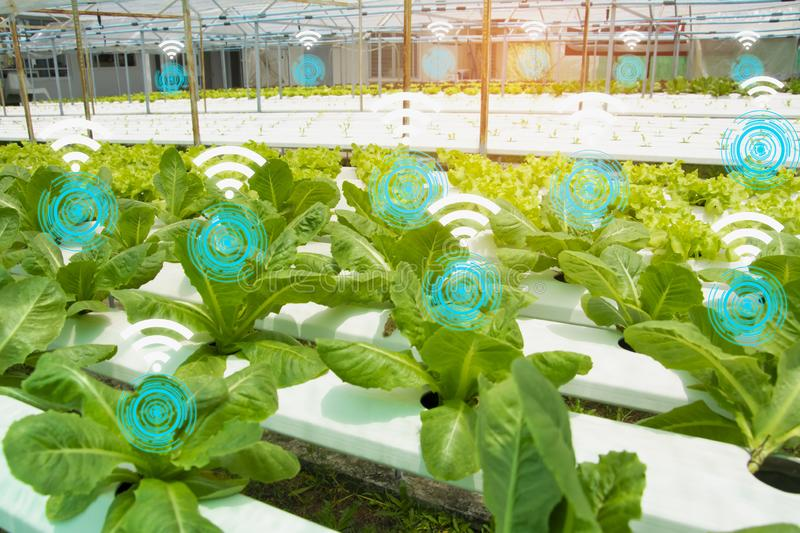 Organic lettuce farm in house controlled by modern technology with wireless network,with technology icon and wifi symbol,concept. Agricultural product control royalty free stock photo