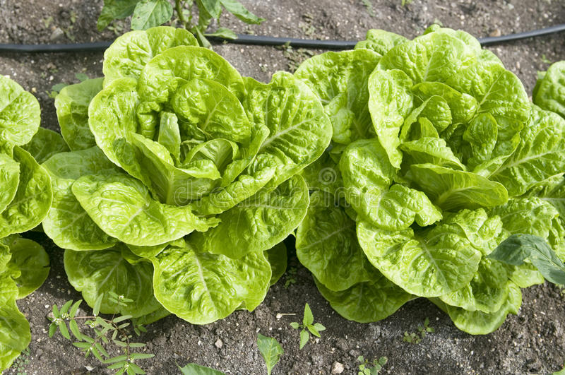 Organic lettuce growing in Antigua Caribbean stock images