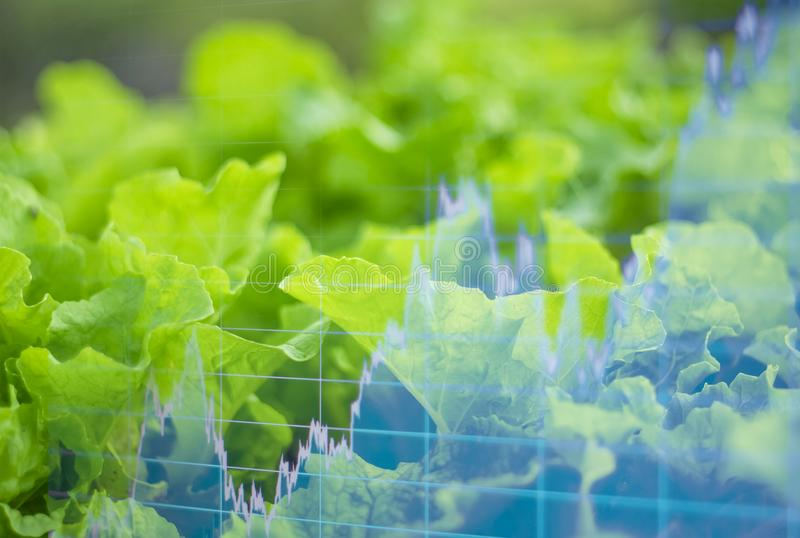 Organic Lettuce Plate, And light in morning On a closed farm system Non-toxic And a computer screen showing stock trading charts royalty free stock photography