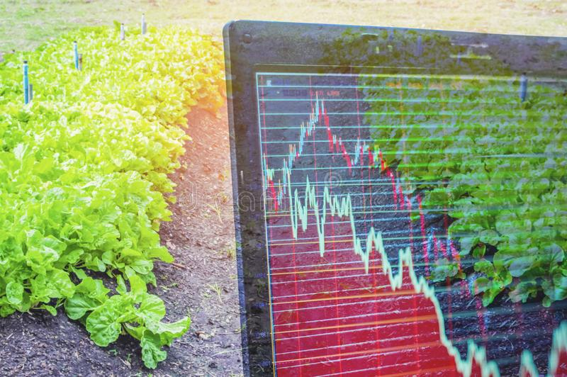 Organic Lettuce Plate, And light in morning On a closed farm system Non-toxic And a computer screen showing stock trading charts. Concept food security and stock photo