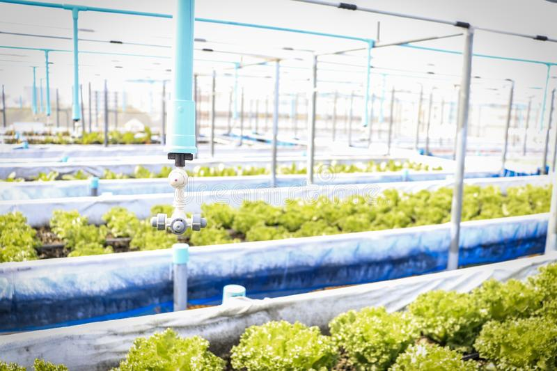 Organic lettuce vegetable salad in greenhouse. Green lettuce vegetable salad  plants a farm using organic fertilizers stock image