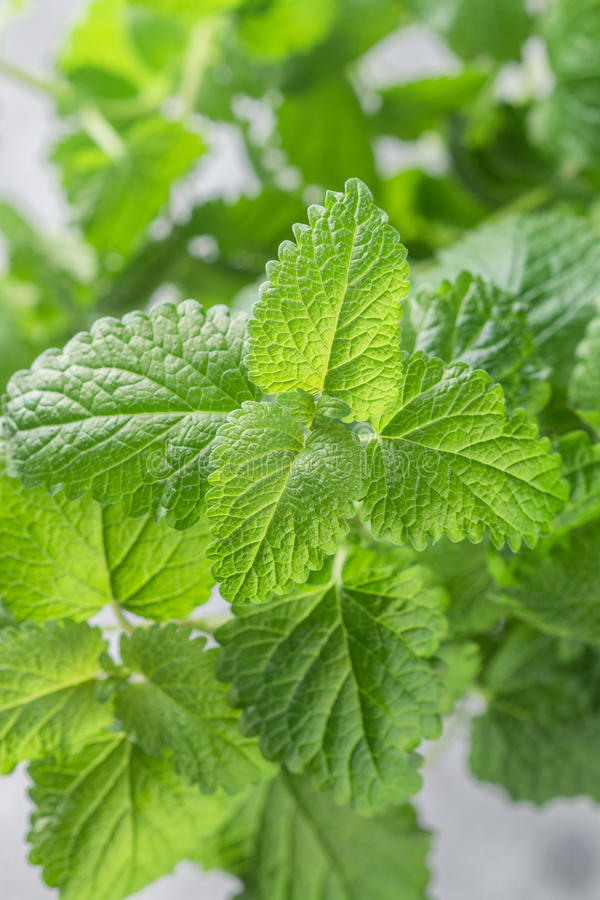 Organic Melissa. Fresh lemon balm. Spicy greens royalty free stock image