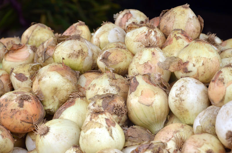 Organic onion. Picture of a organic onion from Macedonia stock photos