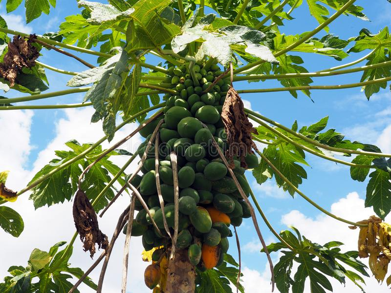 Organic papaya tree with a large bunch of papayas and green leaves with blue sky background in tropical Suriname South-America. Close-up of an organic papaya stock photos