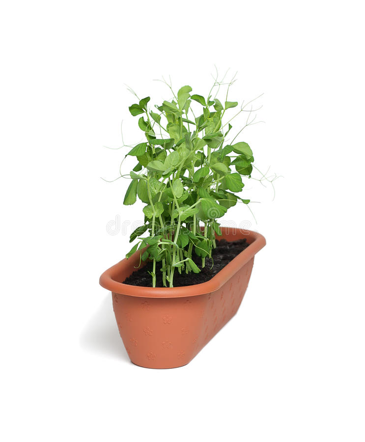Organic pea sprouts stock images