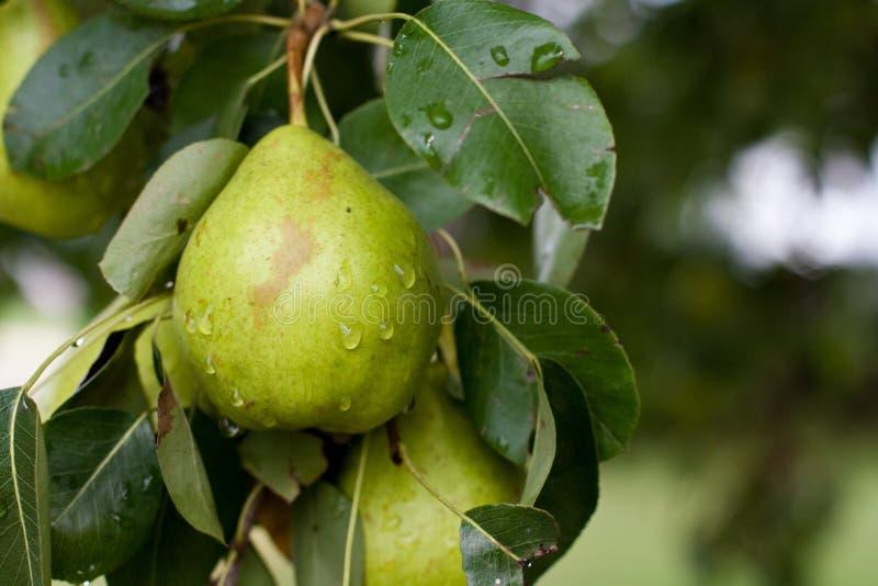 Organic Pear Royalty Free Stock Photography