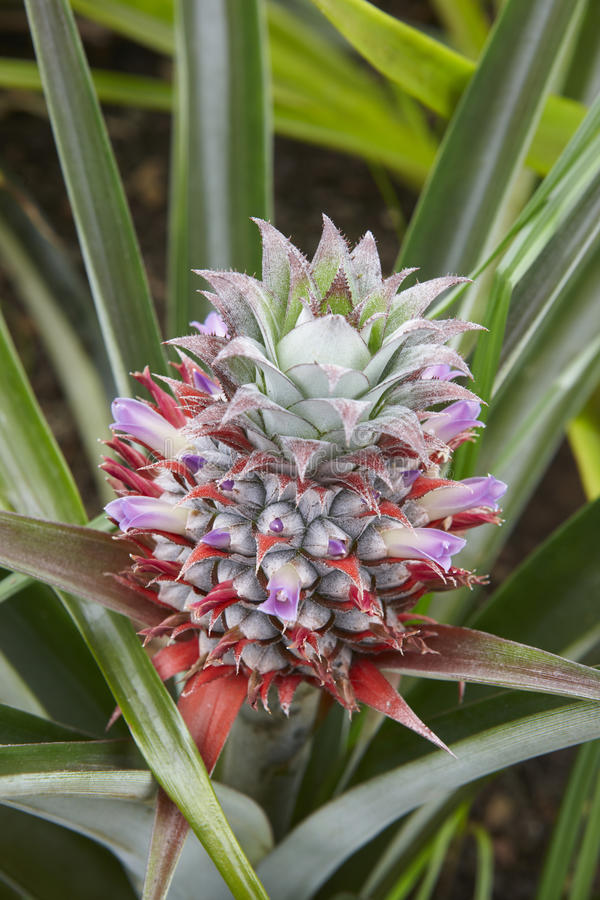 Free Organic Pineapple Detail Greenhouse In Sao Miguel. Azores Island Stock Image - 58420531
