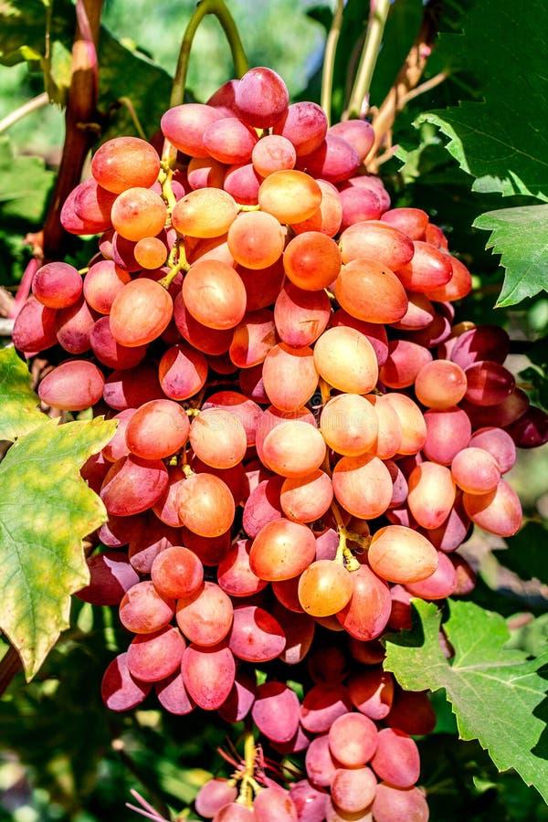 Organic pink grape bunch on the vine tree. Harvest concept stock image