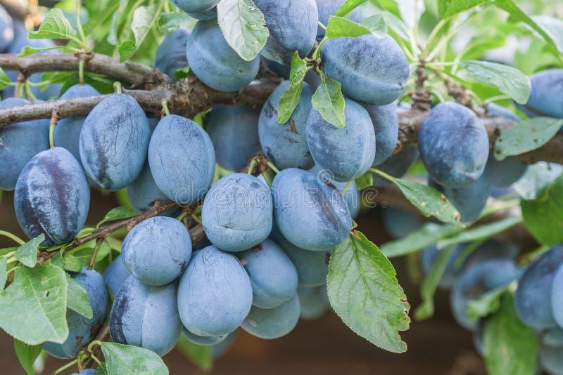 Organic plums stock photo