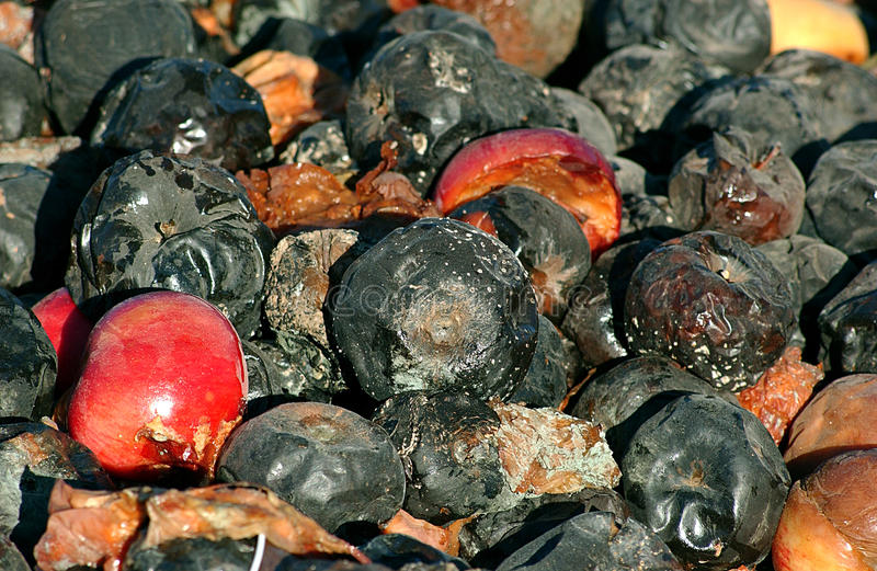 Organic pollution. Picture of a rotten apples stock photos