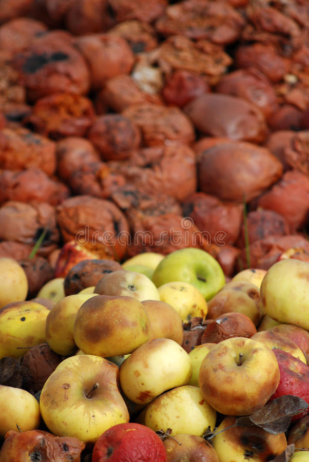 Organic pollution. Picture of a rotten apples royalty free stock photos