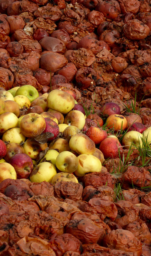 Organic pollution. Picture of a rotten apples stock images