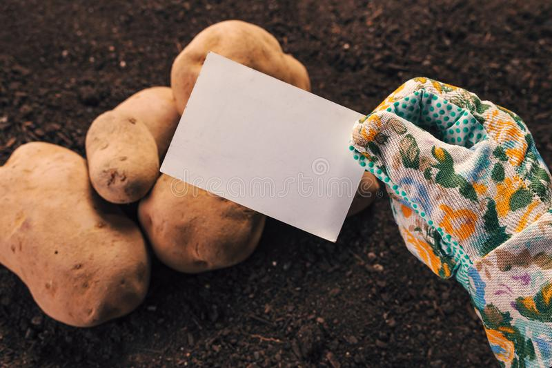 Organic potato farmer holding blank business card mock up. Above freshly harvested pile of tubers royalty free stock images